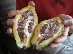 ...exotische Früchte... wer hats erraten?? Niemand, wetten? Kakao! Die dunkeln Samen ergeben gemahlen und geröstet unseren Kakao