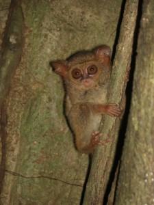 Die Tarsier-Affen sind nachtaktiv und haben riessige Augen (im Verhältnis zum Rest natürlich :-))
